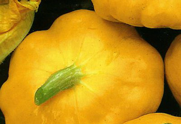 Сорт патиссона: Нло оранжевый