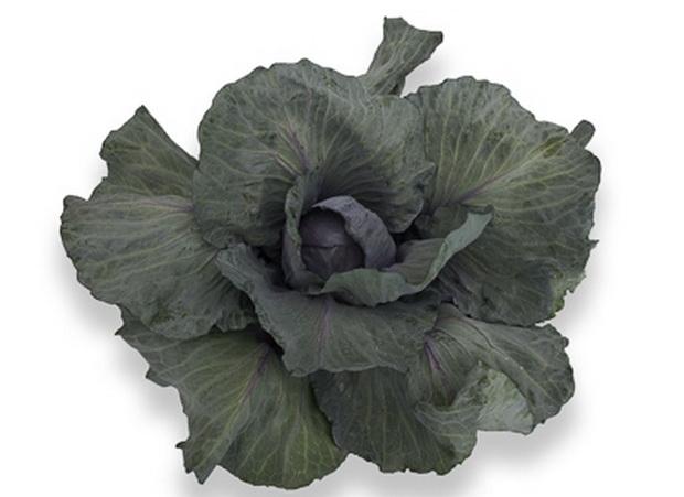 Сорт капусты краснокочанной: Нурима   f1