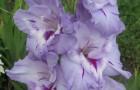 Сорт капусты гладиолуса: Огни маяка