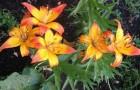 Сорт лилии: Октава