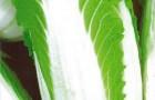 Сорт капусты пекинской: Осенний нефрит f1