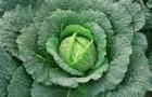 Сорт капусты савойской: Оваса f1