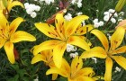 Сорт лилии: Панорама