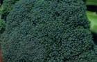 Сорт капусты брокколи: Партенон f1
