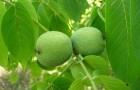 Сорт ореха грецкого: Пелан