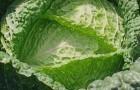 Сорт капусты савойской: Петровна