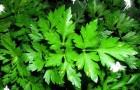 Петрушка - не просто приправа, а лечебное растение