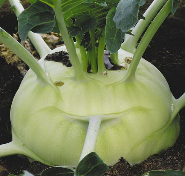 Сорт капусты кольраби: Пикант