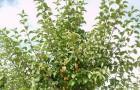 Сорт яблони декоративной: Пирамидальная