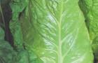 Сорт капусты савойской: Пирожковая