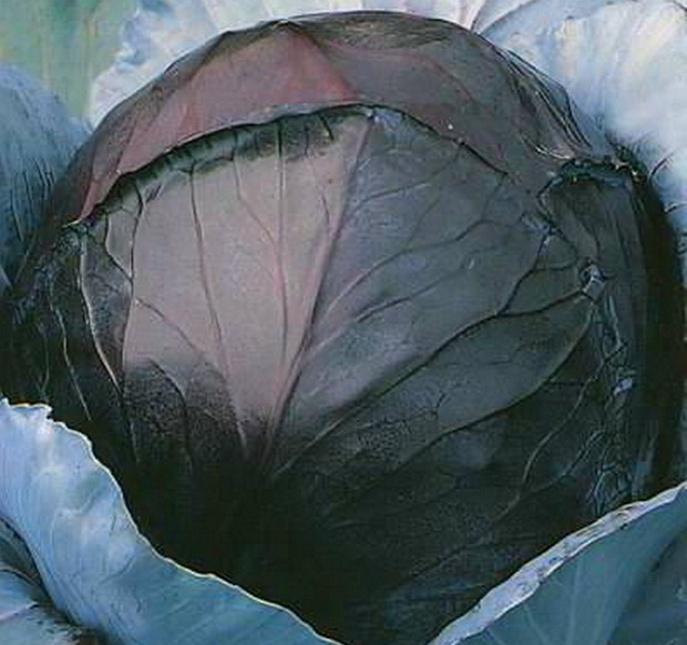 Сорт капусты краснокочанной: Победа