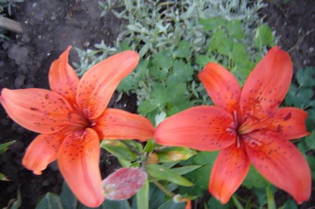 Сорт лилии: Полымя