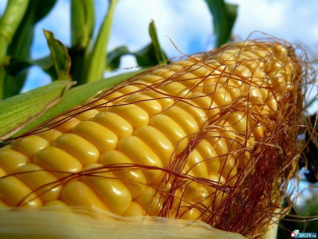 Сорт кукурузы сахарной: Порумбень 199 св