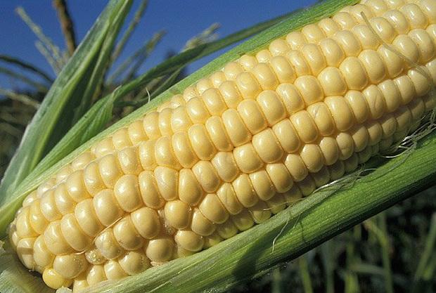 Сорт кукурузы сахарной: Праймтайм