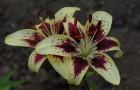 Сорт лилии: Причуда