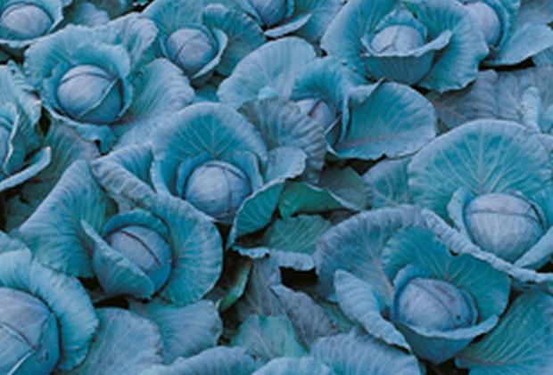 Сорт капусты краснокочанной: Примеро   f1