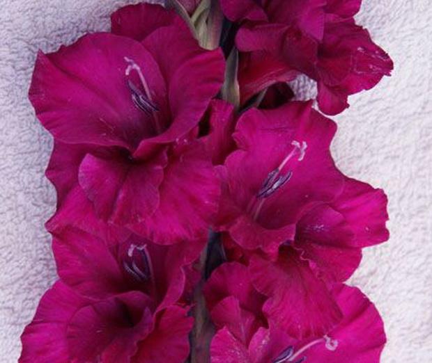 Сорт капусты гладиолуса: Пурпурный гранд паваротти