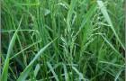 Сорт мятлика лугового: Рагби ii