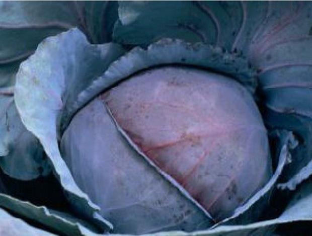 Сорт капусты краснокочанной: Рэд джевел   f1