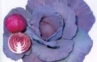 Сорт капусты краснокочанной: Рэд кук f1