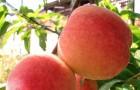 Сорт персика: Редхавен