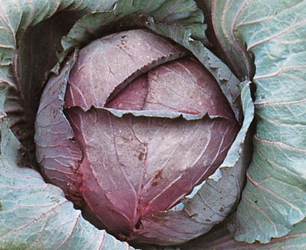 Сорт капусты краснокочанной: Редкап   f1