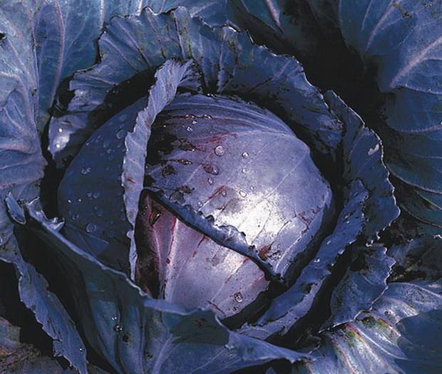 Сорт капусты краснокочанной: Регилиус   f1