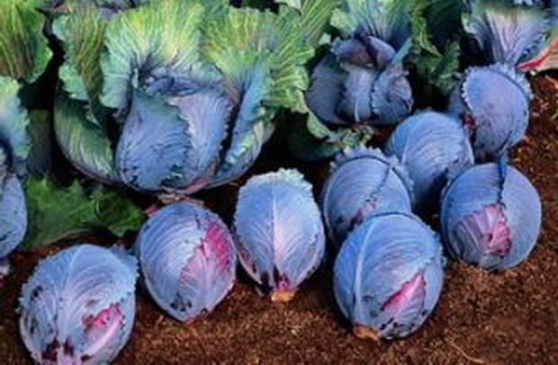 Сорт капусты краснокочанной: Рокси   f1