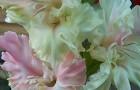 Сорт капусты гладиолуса: Роса в изумруде