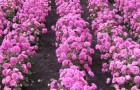 Сорт астры однолетней: Розовая россыпь