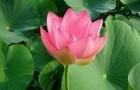 Сорт гиппеаструма: Розовое кружево