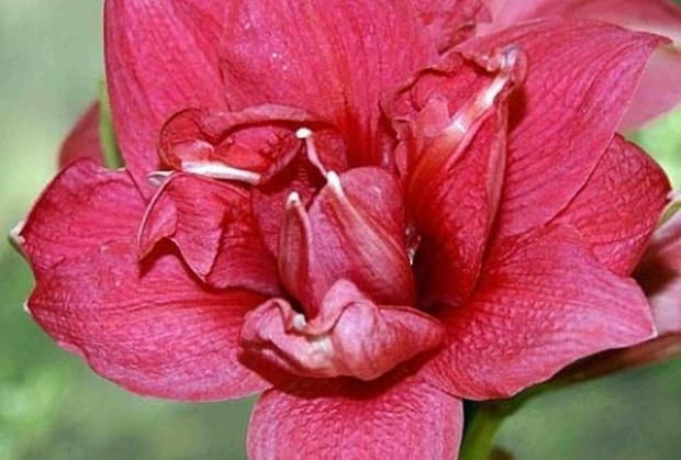 Сорт гиппеаструма: Розовое облако