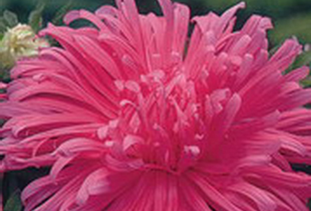 Сорт астры однолетней: Розовый фламинго