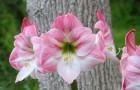 Сорт гиппеаструма: Розовый сон
