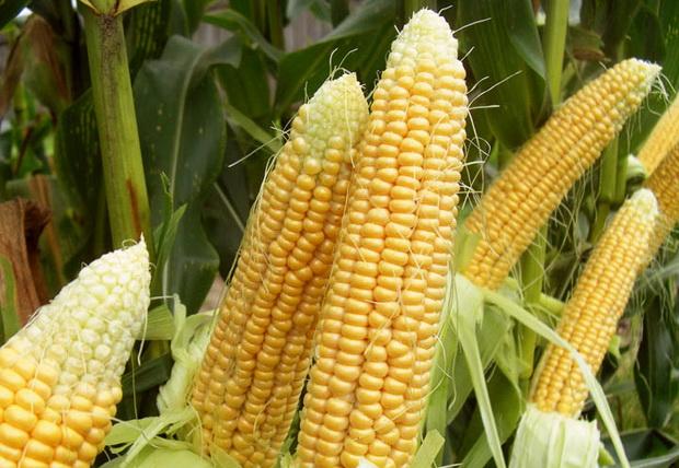 Сорт кукурузы сахарной: Шайнрок