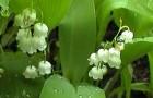 Сорт яблони декоративной: Сахалинская жемчужина