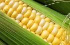 Сорт кукурузы сахарной: Сахарный початок