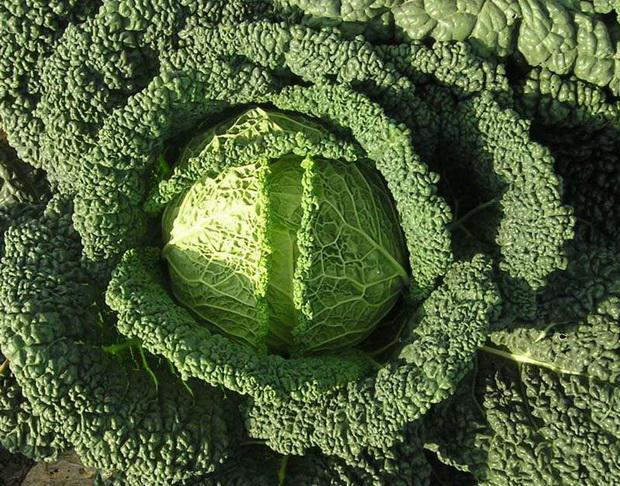 Сорт капусты савойской: Сфера   f1