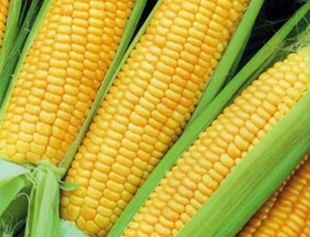 Сорт кукурузы сахарной: Симпатия