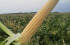 Сорт кукурузы сахарной: Синьет