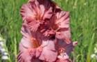 Сорт капусты гладиолуса: Сираэль