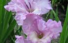 Сорт капусты гладиолуса: Сиреневый вечер