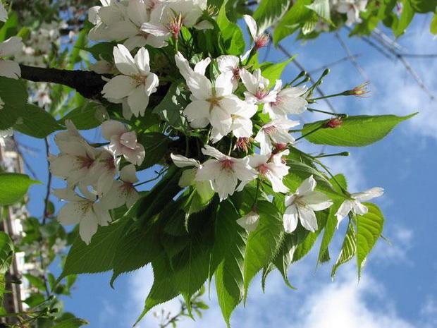 Сорт гиппеаструма: Сияние весны