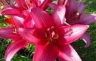 Сорт лилии: Славная