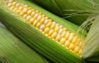 Сорт кукурузы сахарной: Соблазн