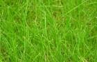 Сорт мятлика лугового: Собра