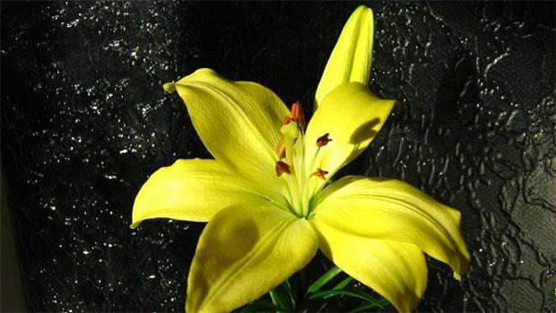 Сорт лилии: Солнечное утро