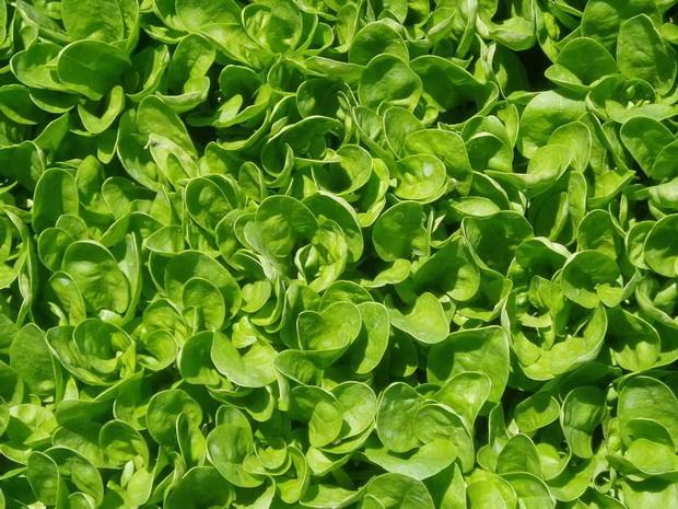 Сорт шпината: Спейс   f1