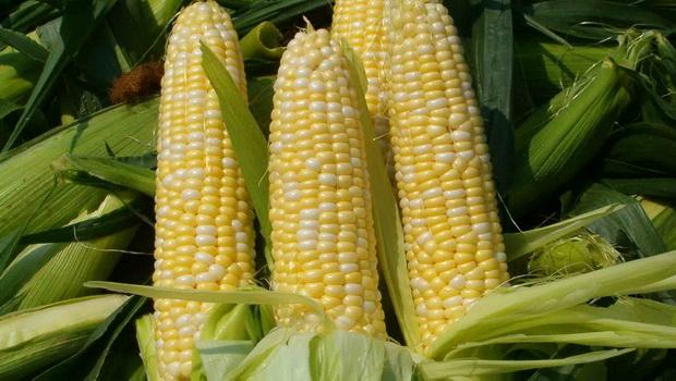Сорт кукурузы сахарной: Спирит