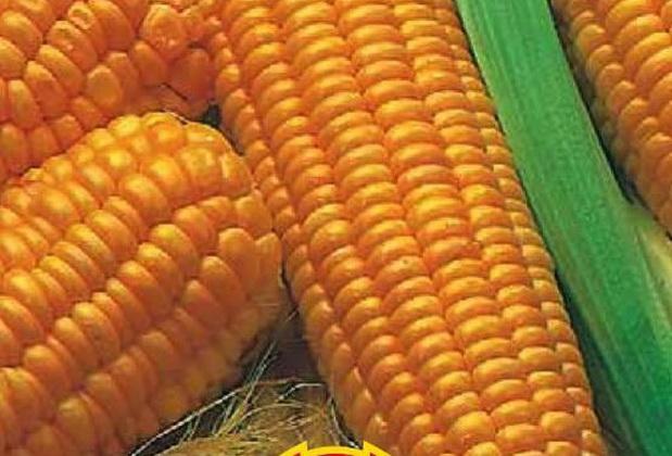 Сорт кукурузы сахарной: Станичник